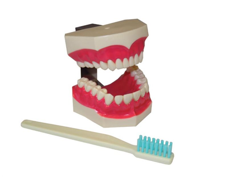 Hager, Brush 'n' Floss, Study Model, 2X Life-size